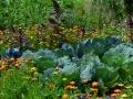 31-white-cabbage-2521700_1920 (1)_potager ecologique
