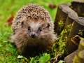 48-hedgehog-child-1759027_1920_place aux herissons
