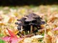 51-fungus-3977564_1920_feuilles mortes champi