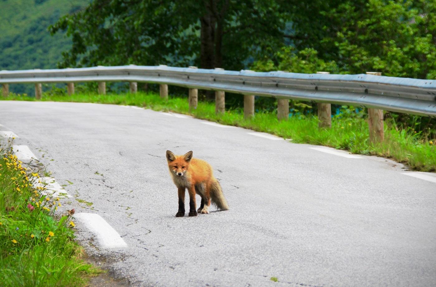 87-50_Animal route - fox-2263712_installer dispositif animaux